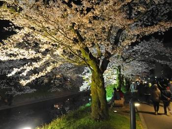 DSC02739松川夜桜G.JPG