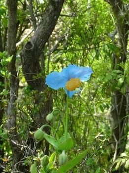 DSC03141湿生花園ブルーポピー.JPG